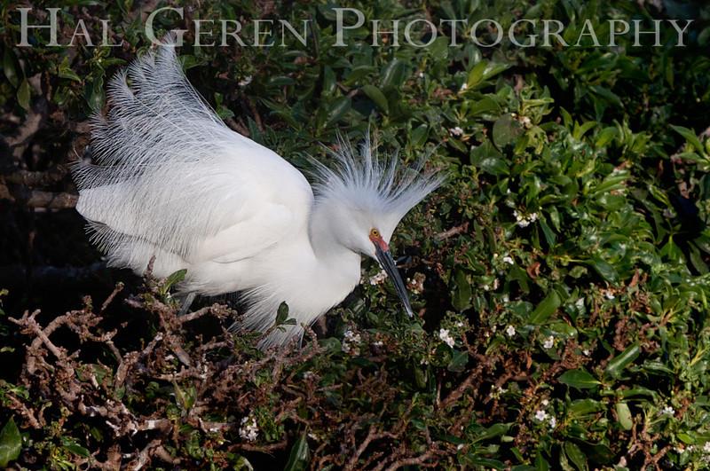 Snowy Egret Newark, California 1304N-SE18