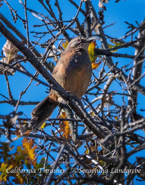 _DSC5344California Thrasher.jpg