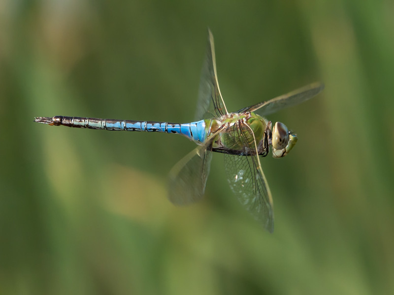 Common Green Darner - Anax Junius (M)