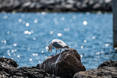 European Herring Gull [Larus argentatus]