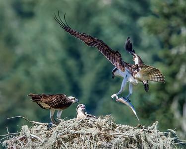 Osprey Nest Photos