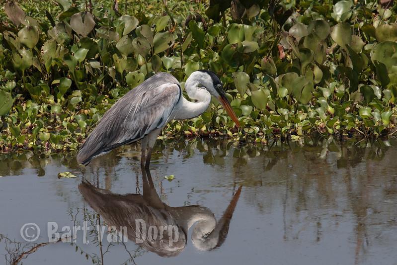 white necked heron_MG_7945.jpg