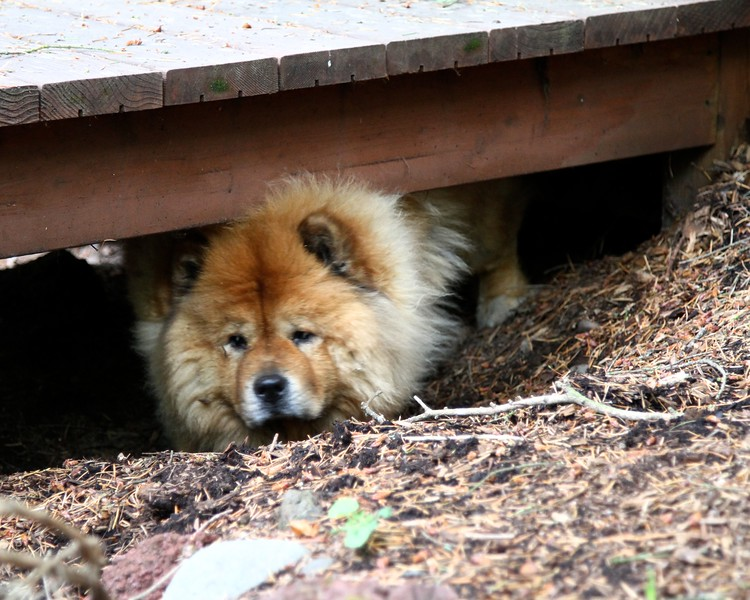 May 30, 2013 Lil has declared under the deck stairs as her fort and won't let Onni in there