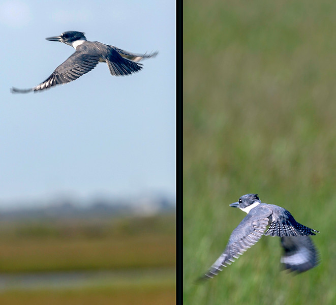 Belted Kingfisher taking flight