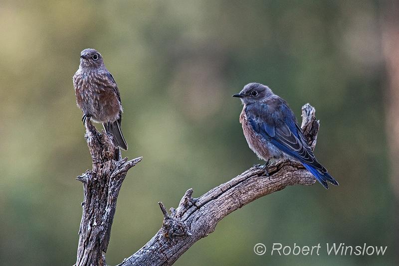 Western Bluebird, Sialia mexicana, La Plata County, Colorado, USA, North America
