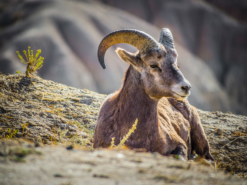 Birhorn Sheep Ram at Rest in the Badlands National Park in South Dakota