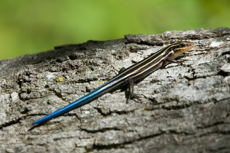 Blue Tailed Skink D3322