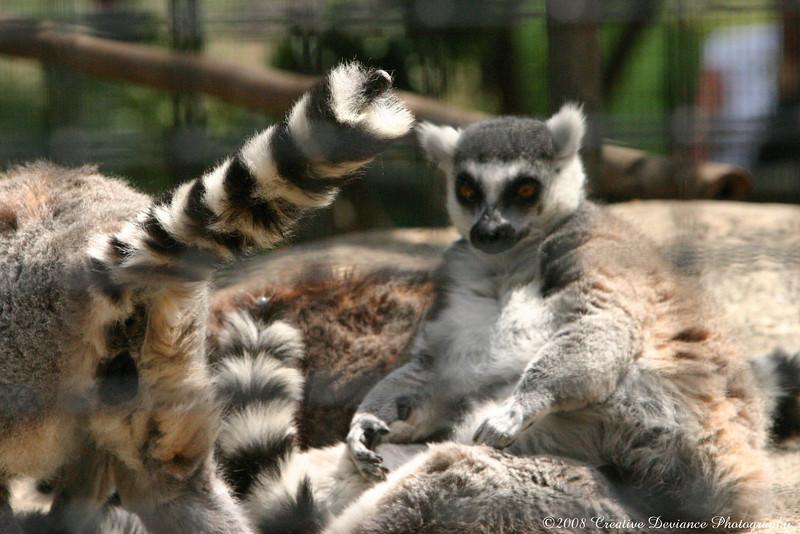 Lemurs4.JPG