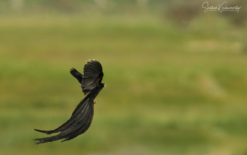 Long-tailed-widowbird-nakuru-flight-3.jpg