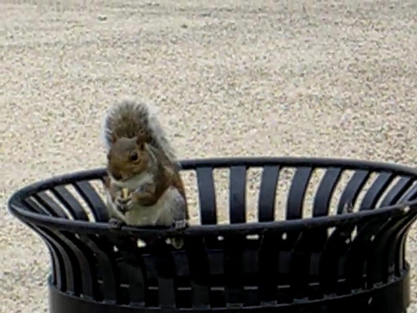 A Washington, DC resident squirrel eating a french fry