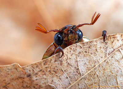 Chrysina lecontei jewel scarab.