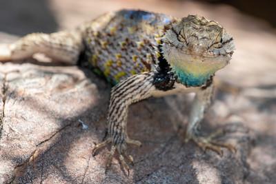 Reptiles of Southeast Arizona