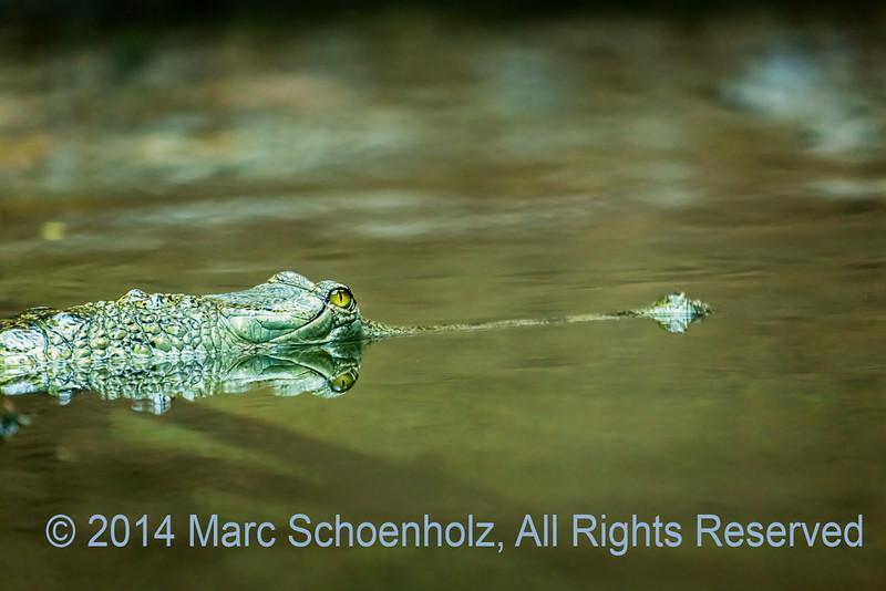 Narrow______Alligator