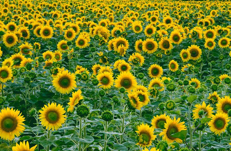 Sunflowers Loire Valley- France - Master.jpg