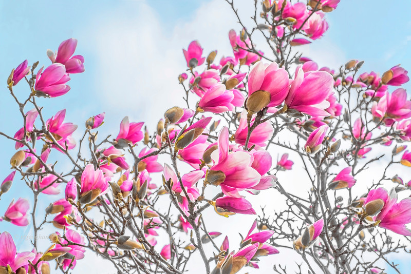 Pink Saucer Magnolia Blossoms