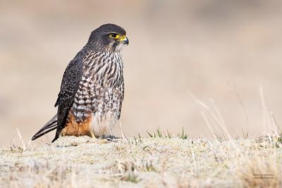 New Zealand Falcon (Falco novaeseelandiae) NT