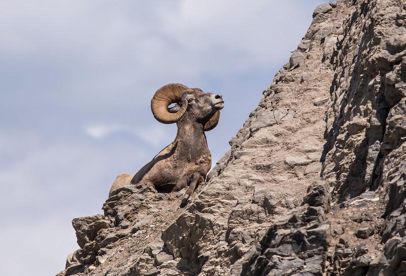 Big Horn Sheep Ram, Jasper AB