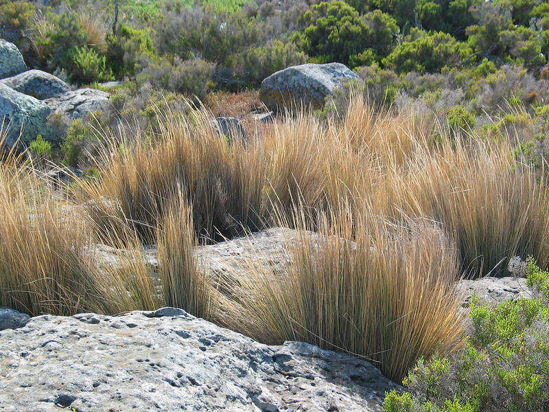 Austrostipa stipoides / Prickly Spear-grass
