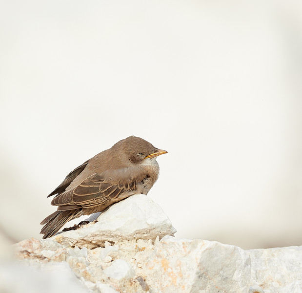 Rosy Starling chick taking a break
