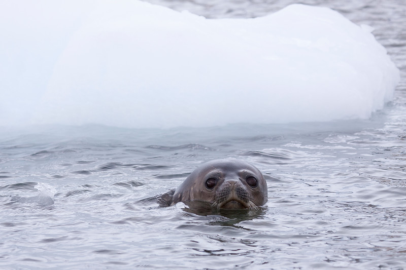 Swimming Weddell.jpg