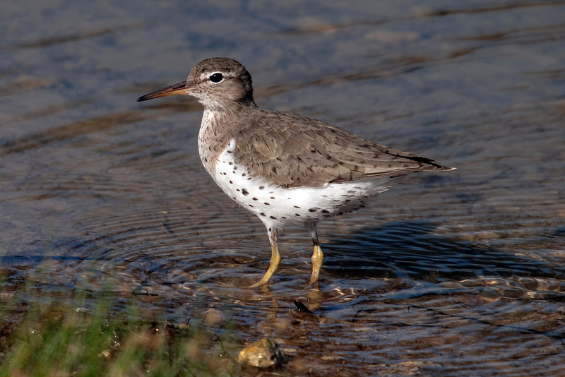 Spotted sandpiper, Sam Bass Park, Texas