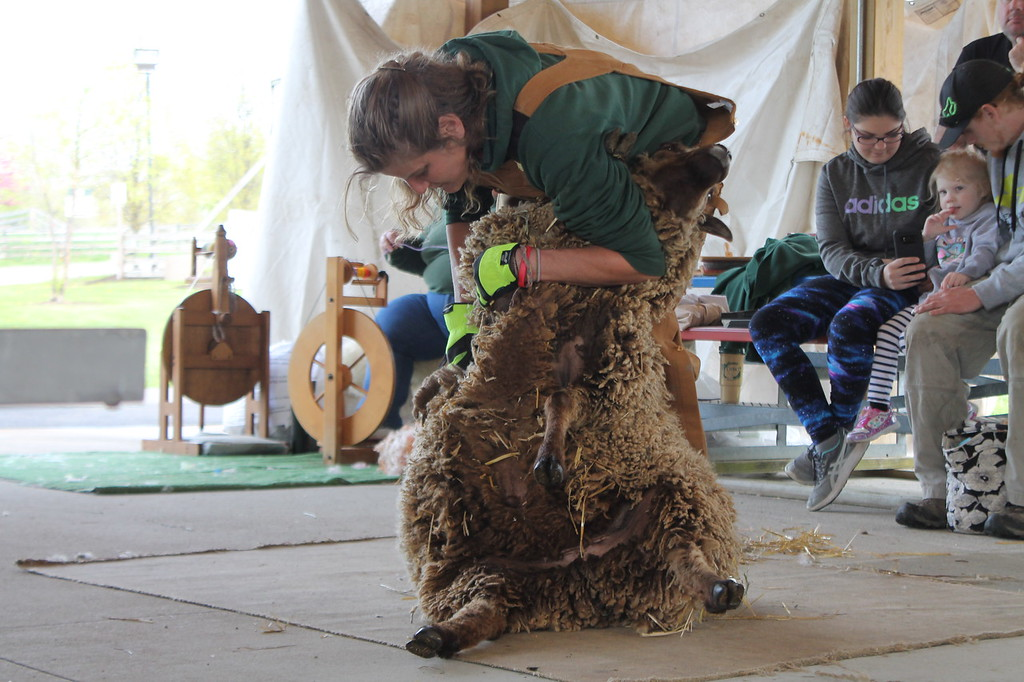 . Farmpark interpreter  and shepherdess shears a sheep with a pair of blades  during the Farmpark\'s sheep shearing weekend on May 13. Kristi Garabrandt - The News-Herald