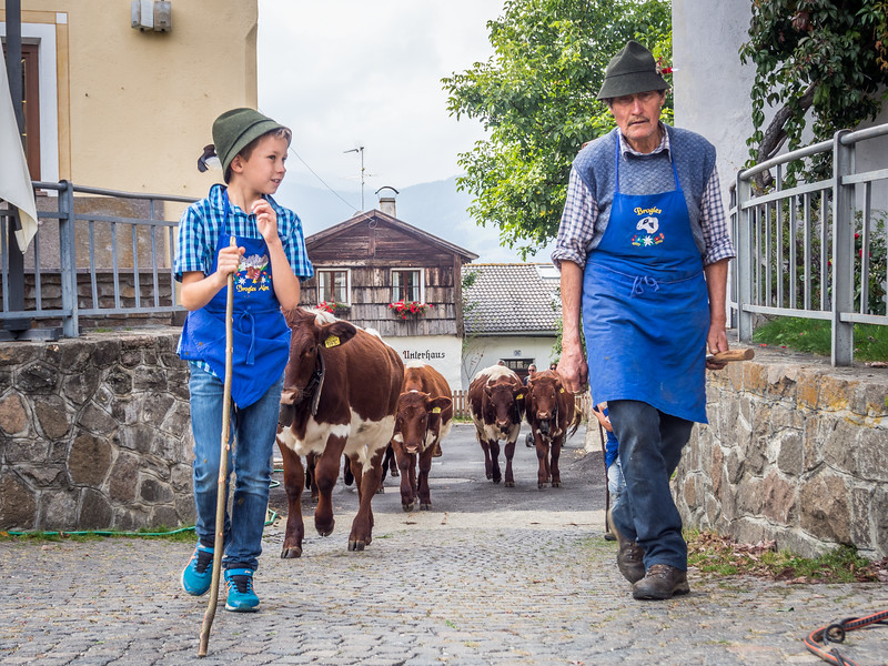 Bringing the Cows Home, Lajen, Italy