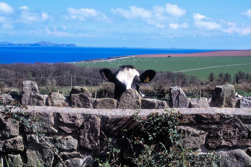 Cow in Wales.jpg