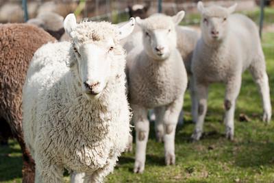 Mercer Sheep Farm Trip