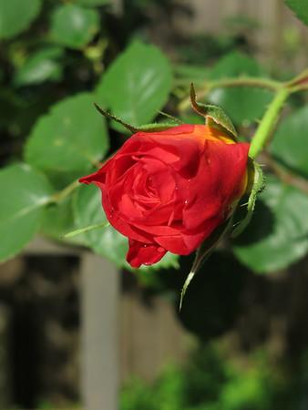 Joseph's Coat Roses and Gracie 03 17 20