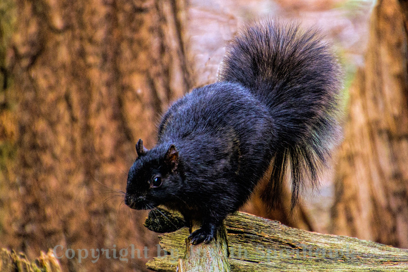 The Black Squirrel