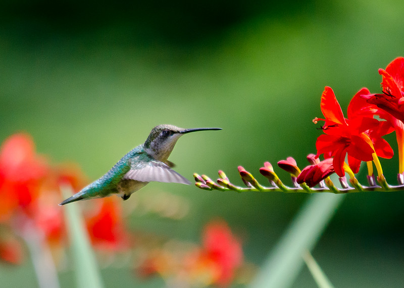 hummingbird 2 tpc 7-2014 (1 of 1).jpg