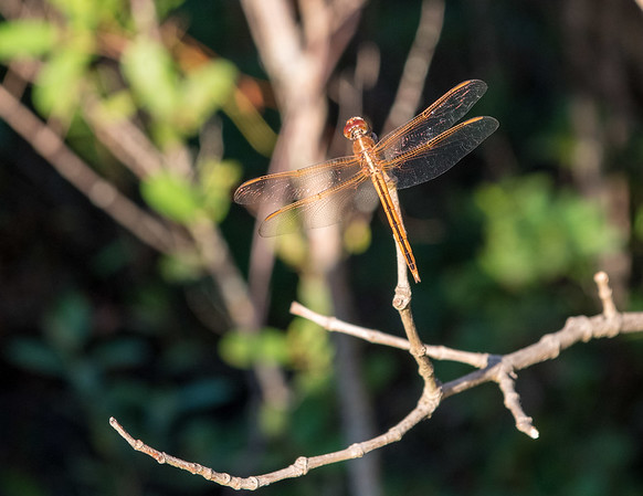 Dragonfly at High Taylor Birch State Park