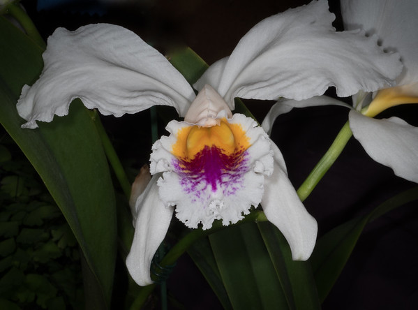 Platinum Coast Orchid Society Show - May 6, 2017