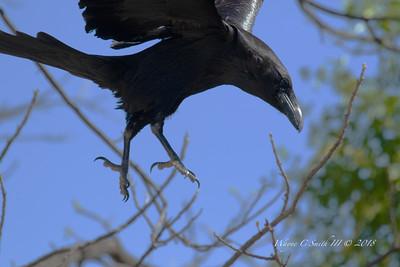 Ravens, Crows, Grackles, Starlings, Black Birda