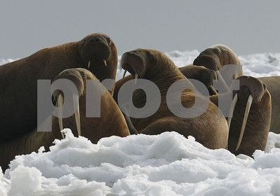 federal-government-no-threatened-species-listing-for-walrus