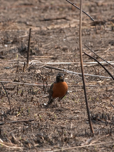 clip-015-bird_robin-wdsm-10apr09-3807.jpg