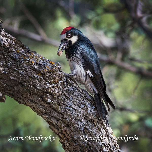 _DSC2969Acorn Woodpecker nut.jpg