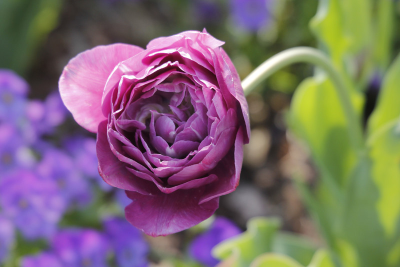 blue spectacle tulip