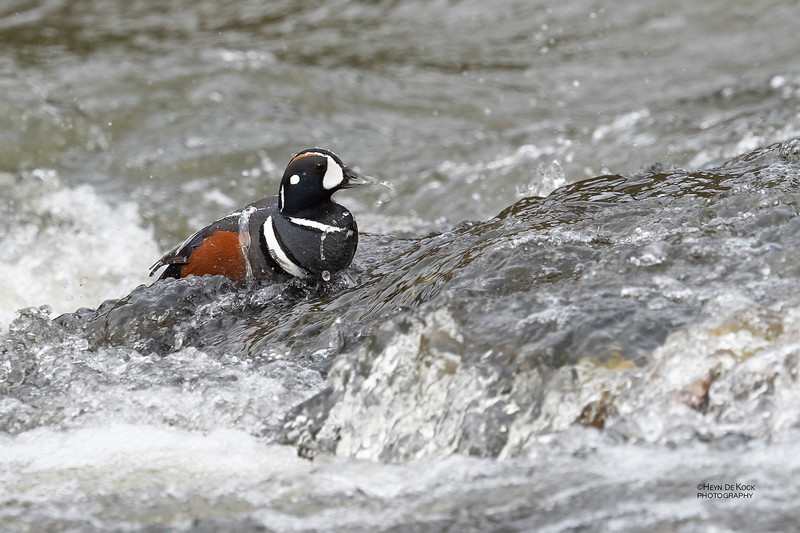 Harlequin Duck, Yellowstone NP, WY, USA May 2018-3.jpg