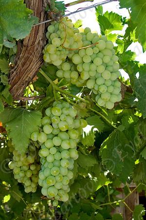 grapevine - גפנים