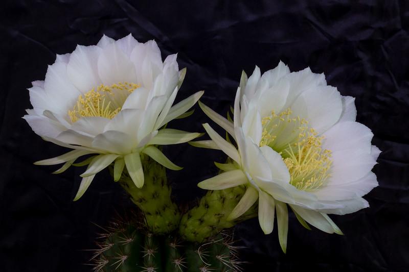 Torch Cactus 10-13-2016b.jpg