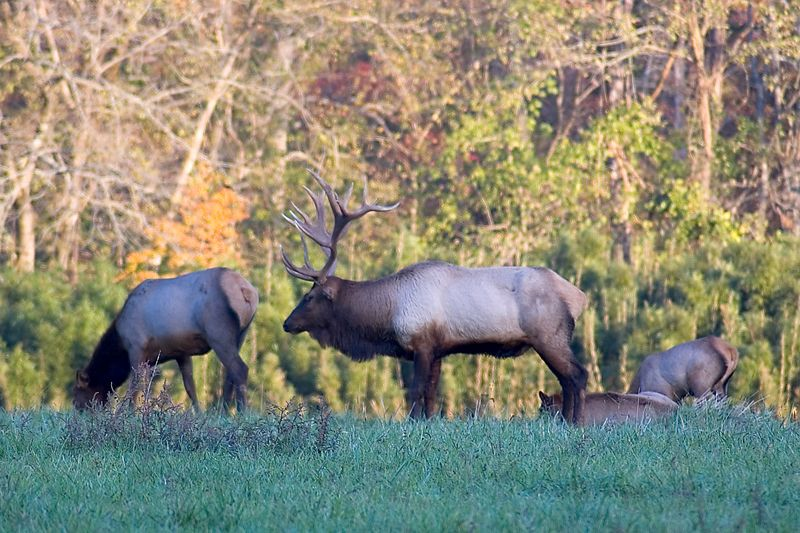 Elk in Boxley Valley just down the road from our cabin in Ponca, AR.  Buffalo National River