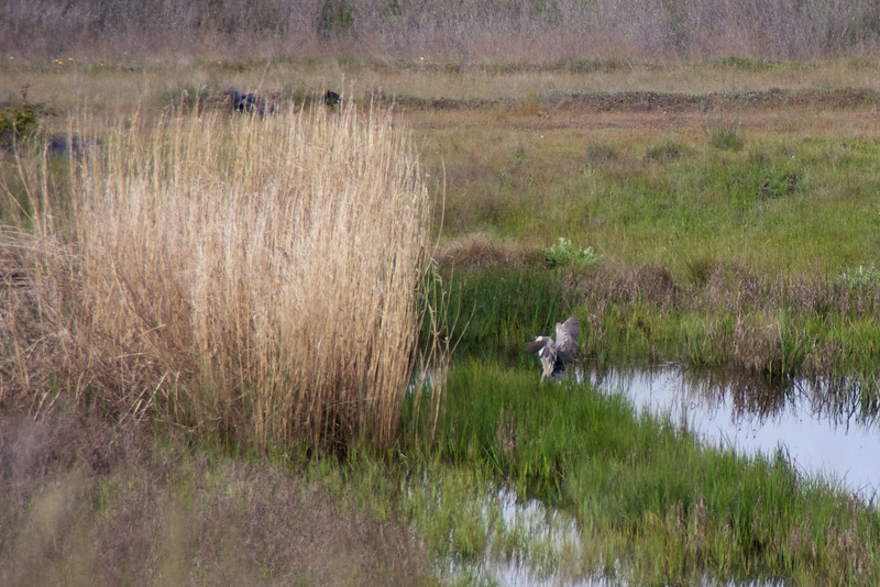 Night Heron 7: (Nycticorax nycticorax), watching the terrain change  [see Night Heron 1 for explanation]. Heron settles into reeds.