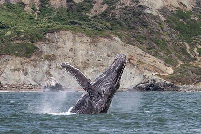 Humpback Whales - June 2017
