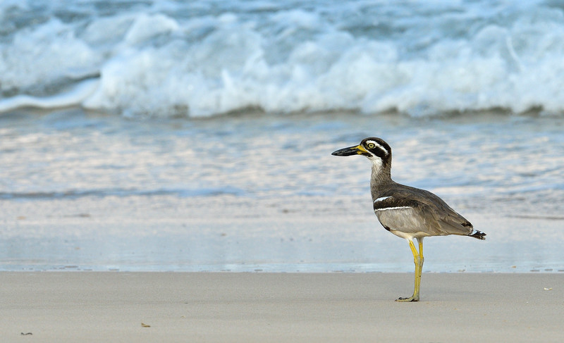 Beach-Thick-knee-with-crab-little-andaman-13.jpg