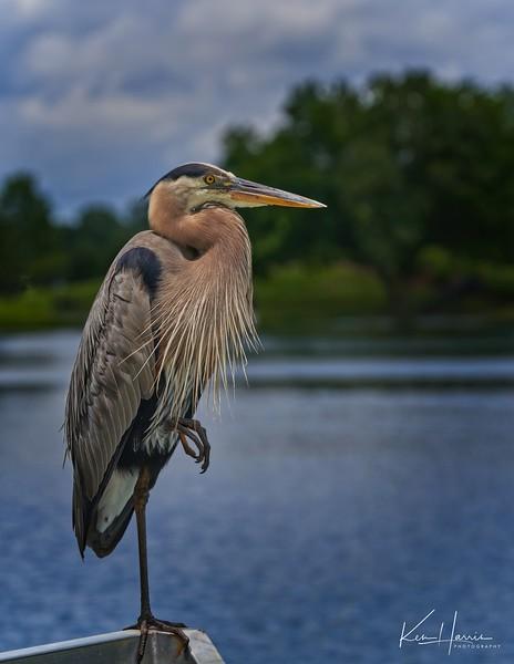 Great Blue Heron taking a break