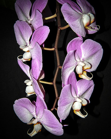 Orchids Phalaenopsis