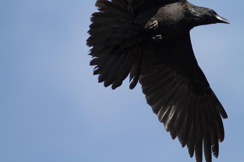 Common Raven in flight over Hawk Ridge Bird Observatory Duluth MN IMG_0257.jpg