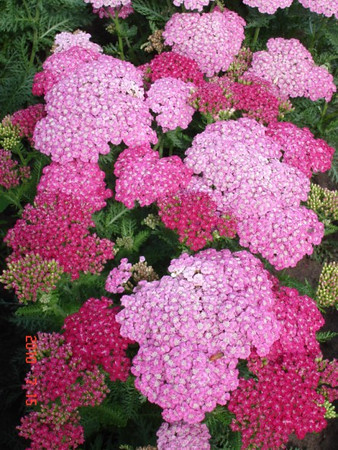 Achillea 'Saucy Seduction'.jpg